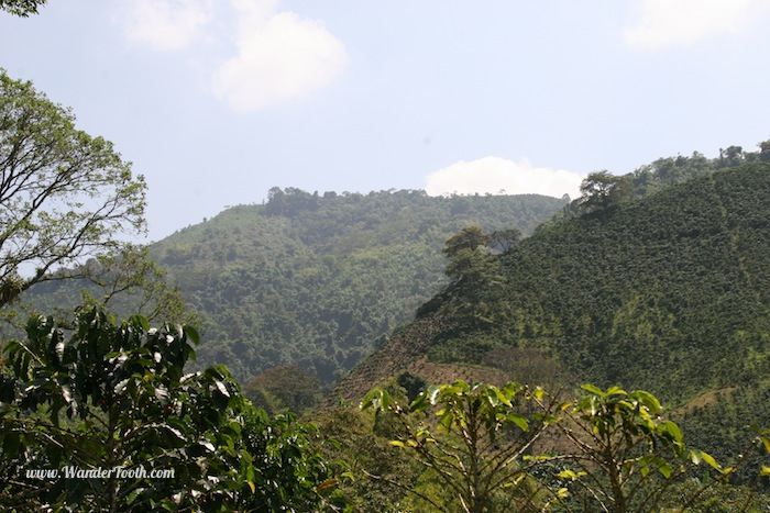 The Colombian coffee region is lush and green