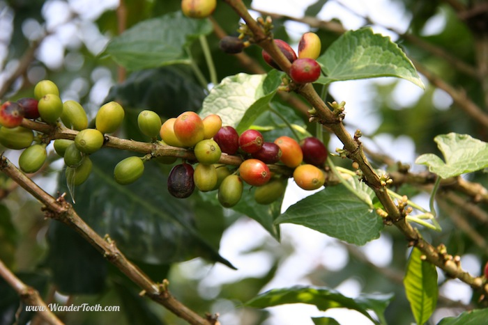 """Coffee beans on the bush"""