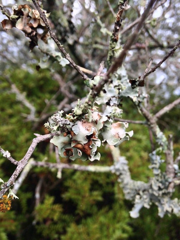 The olive trees seem to be covered in this beautiful silvery-green lichen