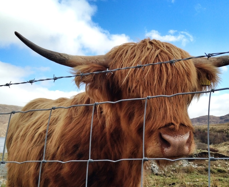 picture of a highland cow on a sunny day