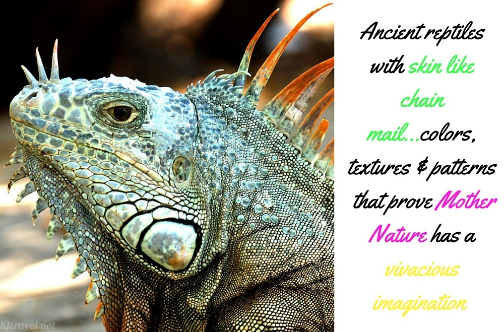 colorsofmexico-green-iguana