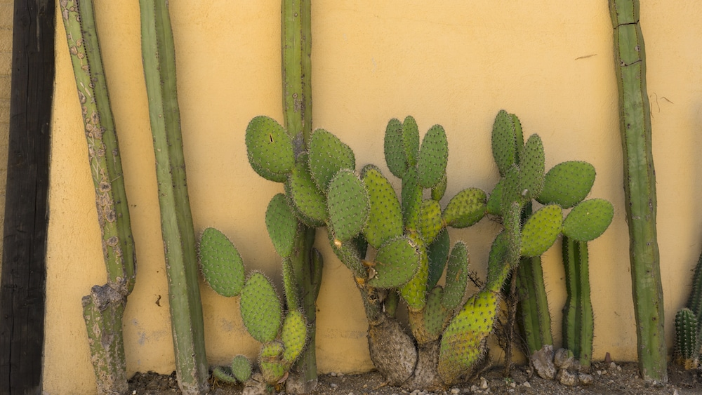 Cacti grow against a home's outer wall in Tule, Oaxaca State. Fun fact: Tule is home to a tree with the stoutest trunk in the world!
