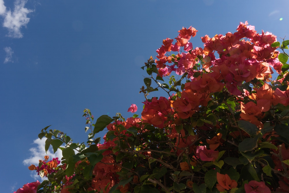 bougainvillea blue sky