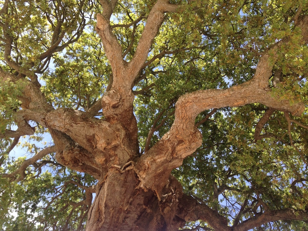 Portuguese Village Cork Tree