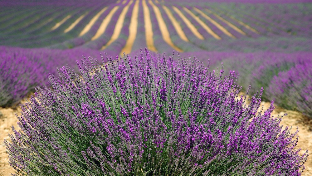 France Archives Lavender Fields