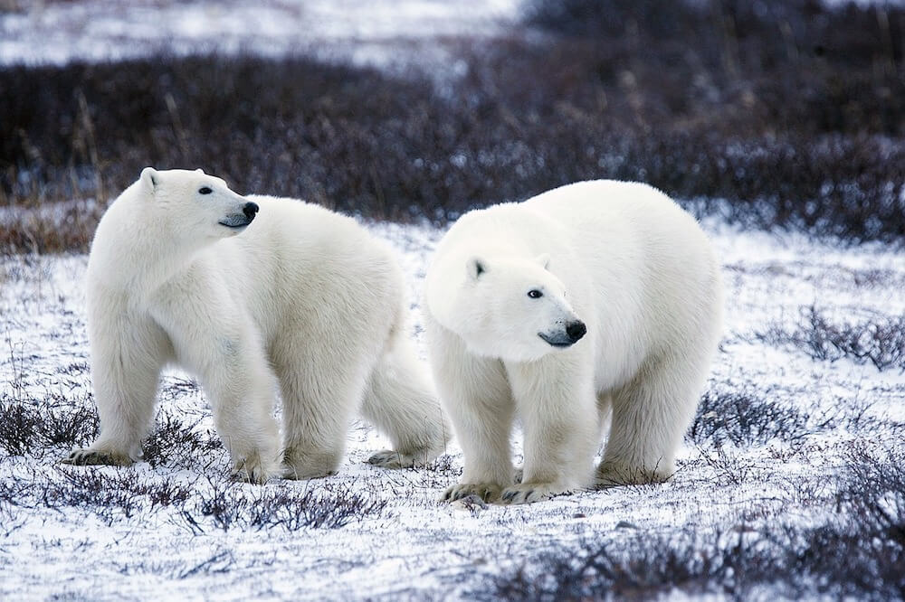 Seeing Polar bears in Svalbard is amazing and one of the best things to see in Norway