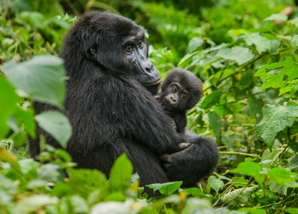 Mountain gorillas in forest, mom and baby