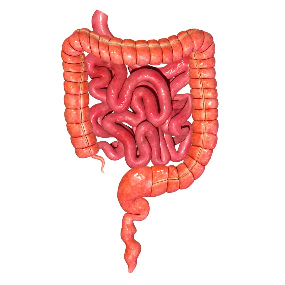 image of a human intestine
